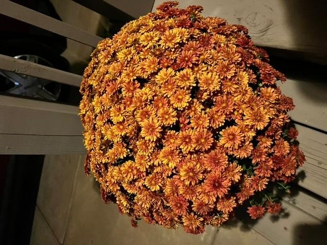 いつも野菜ばかりを育てており、花に関して初心者なのですが、菊を初めて買いました。菊は鉢を大きくしたら翌年はもっと大きくなるのでしょうか?