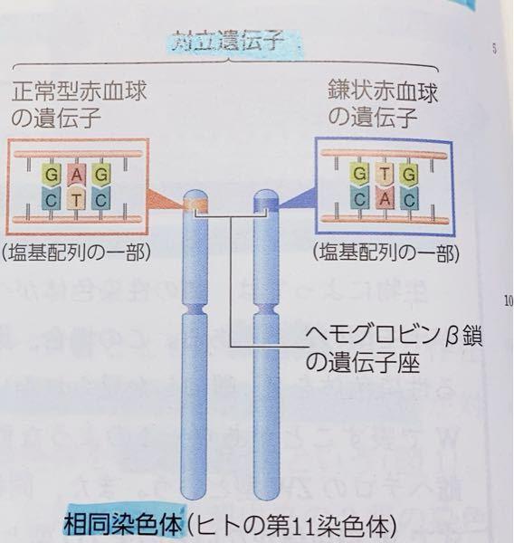 生物に関する質問です。下の写真は対立遺伝子について示してあると思うのですが、この、2本の遺伝子がどちらも正常、または鎌状ならばこれらは対立遺伝子とは言えないのでしょうか?教えて欲しいです