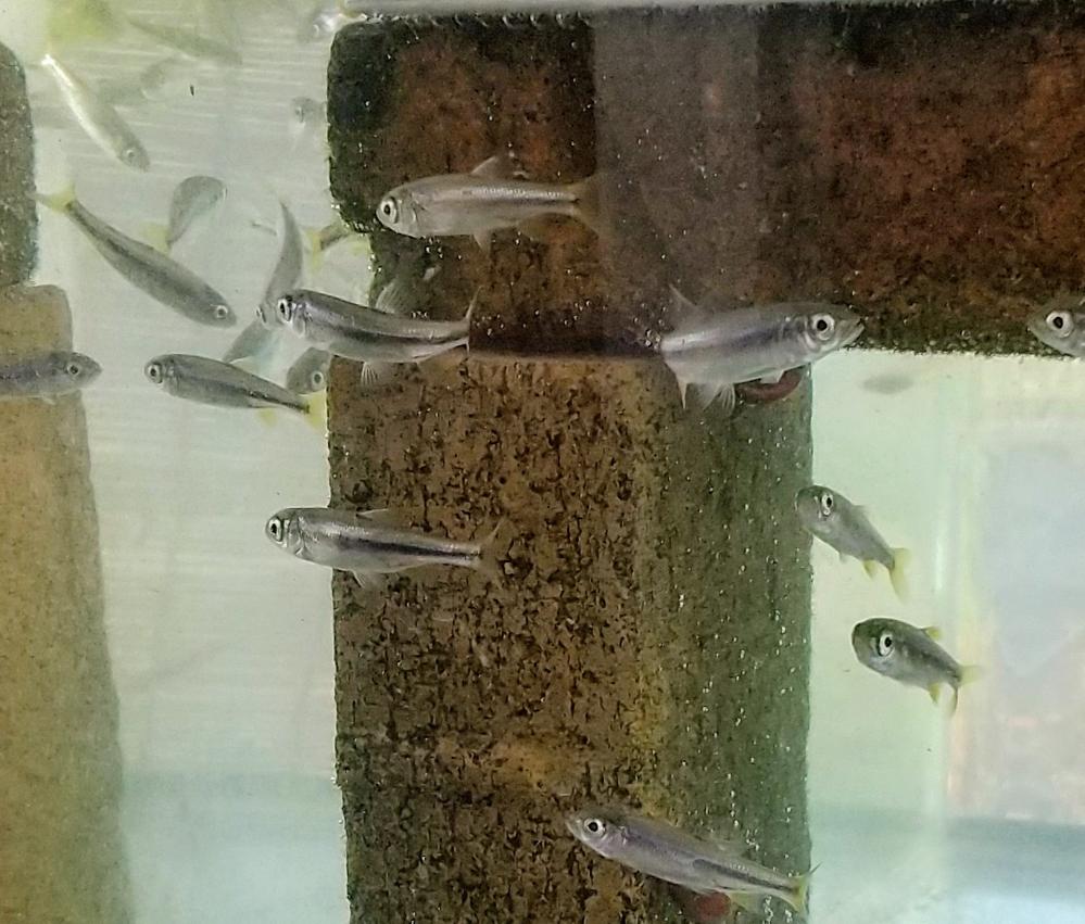 この魚の名前を教えてください。 川で捕まえてきた4cmほどの大きさの魚で、黒いラインの上半分が、見る角度によっては青や紫に光っています。