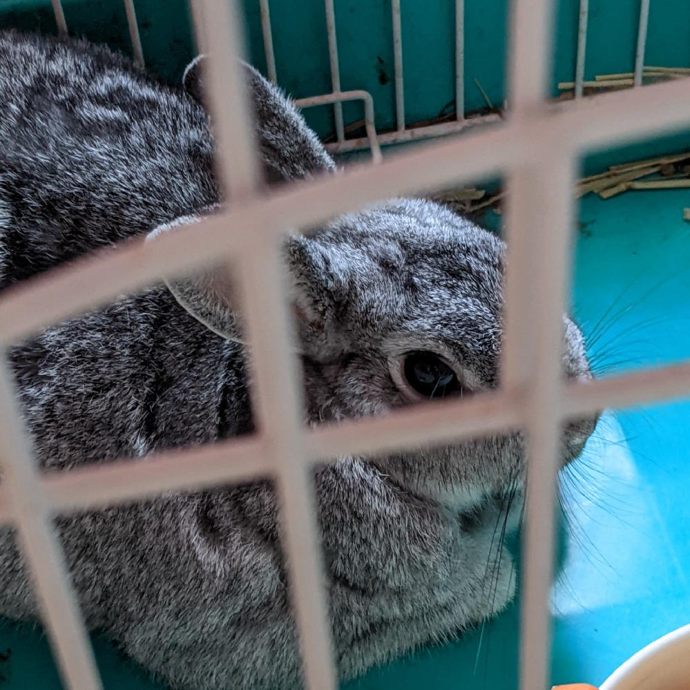 某ペットフォレストでミニウサギを購入しました。他のは2万円とかするのに5千円でした。 性格は非常に温和で最高に良いです。 どうして破格の値だったのか分かりません。 病気らしい病気といえば最初からハゲがありました。なぜ(?_?)
