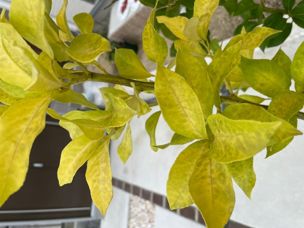 レモンの葉の色が黄色くなってきました。 原因分かりますか? 昨年の冬に寒害で葉が全部落ちて今年の夏は新芽が出て割と元気そうでした。 2ヶ月前ぐらいから?葉の色が黄色くなってきた気がします。