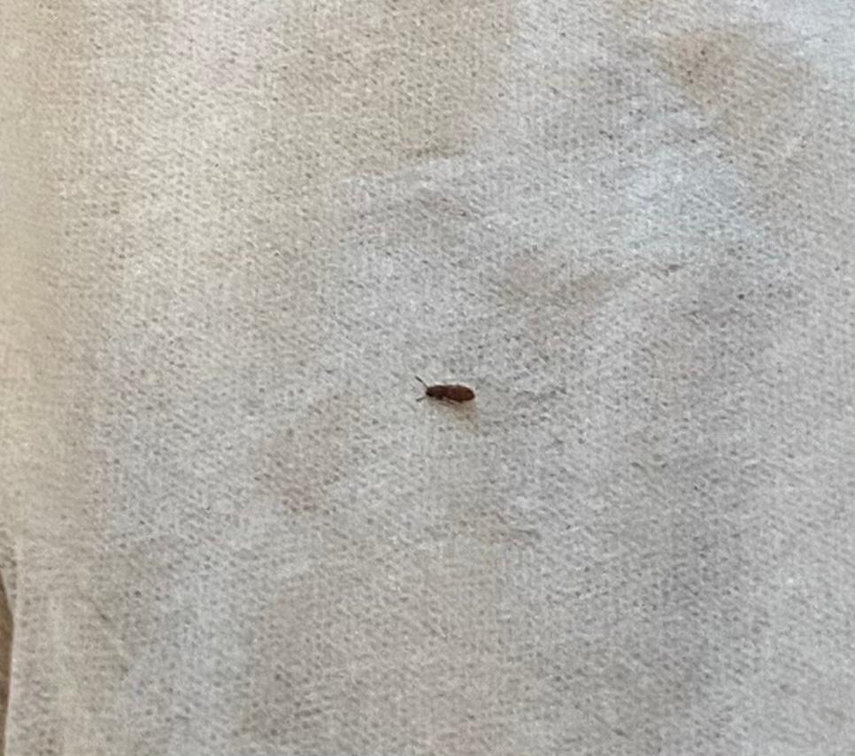 最近、家に写真のような虫がいます。 2ミリくらいのサイズで羽がはえています。 リビングのカーテンについていたり リビングの床を歩いていたりします。 退治するときに潰しても硬い?生命力が強い?のか簡単潰せない虫です。 家に観葉植物はありますが、リビングとは離れている部屋で、この虫をよく見かけるリビングに植物はありません。 小さい虫は網戸から入るとのことなので、リビングは窓も最近は開けていません。 家のどこかに発生源があるのでしょうか? またこの虫は何の虫で駆除方法はあるのでしょうか? ネットでも調べてみたのですがよくわからず質問させていただきます。 よろしくお願いします。