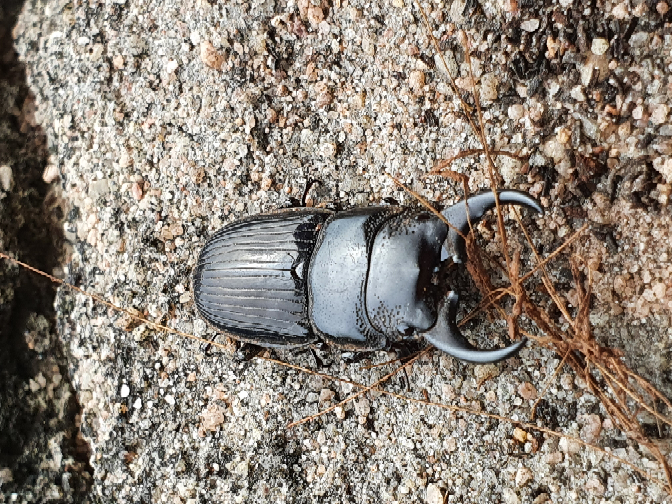 この虫は何ですか?クワガタの仲間?
