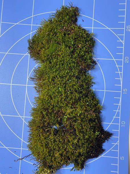 この苔の名前を教えてください。 よろしくお願いします。