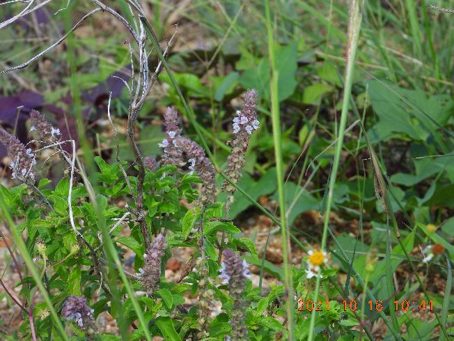 わかりにくいですが、紫の花がついている野草の名前教えて下さい。