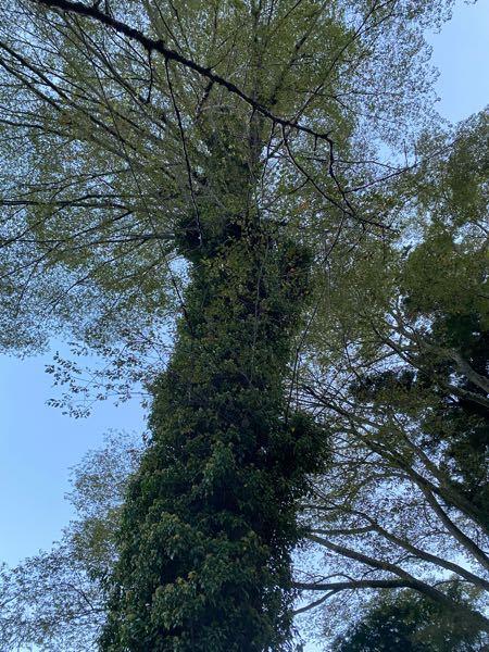 この木の名前を教えてください! 高尾山の途中で、幹にずいぶんと寄生されている木がいるなあと思ったのですが、全部が同じ葉だったので、多分全てが1本の木で、幹から直接、葉や枝が生えているのだと思いました。 なんの木か分かりますでしょうか? よろしくおねがいいたします! (写真が遠すぎて分かりづらかったらごめんなさい)