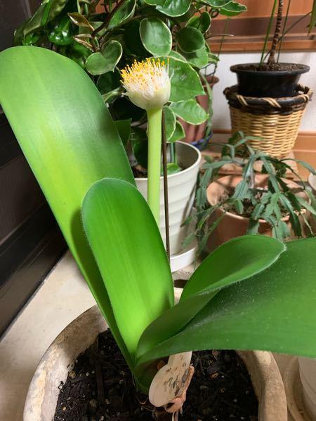 この花の名前わかりますか? 横浜の親戚に頂いた花なんですけどよくわからなくて困ってます 教えていただけると幸いです ♀️
