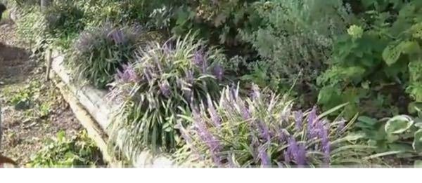 この紫のお花が咲いている植物の名前を教えて下さい!