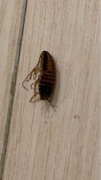 【※虫の写真があります。苦手な方は開かないでください】 最近定期的に家の中に1cmほどの茶色い虫が出ます。 画像の虫は何ですか? 倒した後なので丸まっていて分かり辛いですが、触覚が生えています。 ゴキブリの赤ちゃんなのかな?と思っているのですが、ゴキブリの赤ちゃんだとしたらどう対処したらいいでしょうか。今後大きくなって毎日出るようになったらどうしようと不安です。 虫好きの方がいたらこのような写真を見せてしまって申し訳ないです。
