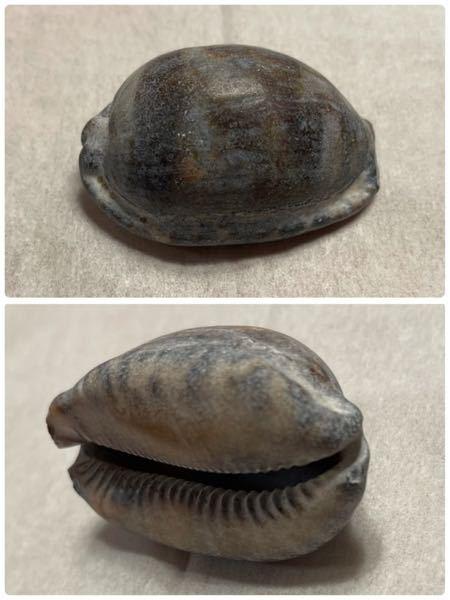 これは何ていう貝ですか?