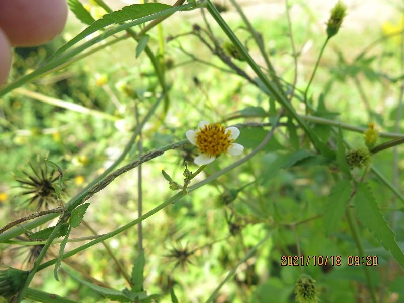 1m50センチほどの背丈でした雑草の名前を教えてください、種は引っ付くトゲあり、 岐阜県美濃加茂市で、 撮影20211018