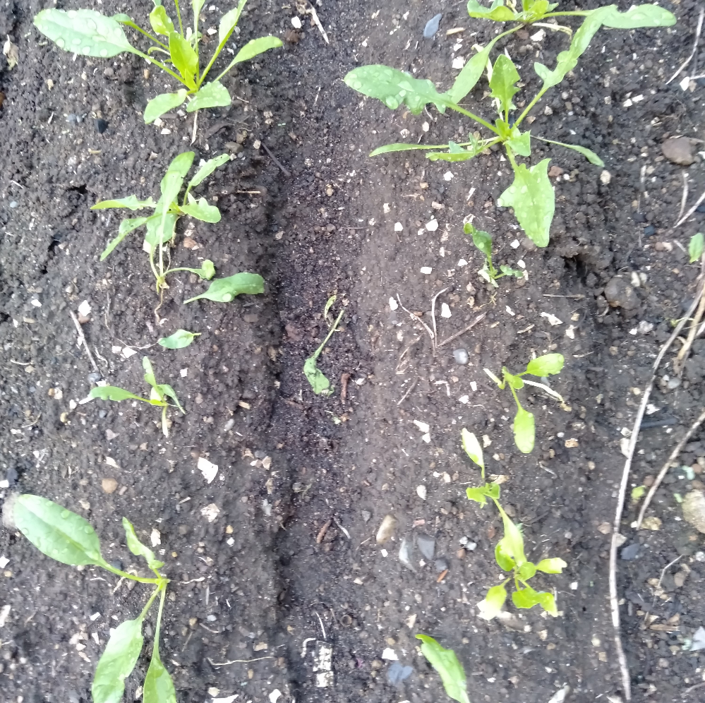 植えて1か月のほうれん草です。2週間おきくらいに肥料(油かす)を与えてましたが、全然成長しませんでした。。 予想外に昼間30度近くなることが1週間以上あったりしてそれもあまりよくなかったなぁと思っていますが、これからどうしたら大きく育つのでしょうか?それとももったいないですが最初からやり直した方がいいのでしょうか?回答よろしくお願いいたします。