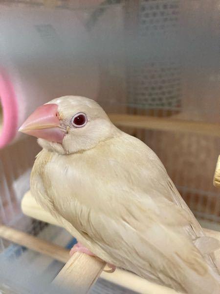 文鳥飼育経験のある方にお聞きしたいです。 先日1ヶ月半の文鳥さんをお迎えしました。 あまりの可愛さに家族全員メロメロです。 現時点では判断のしようがないのは、重々承知しているのですが、ぱっと見...