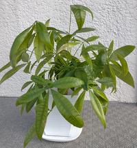 パキラの新しい葉が次々枯れていきます! ⚫現在の状態:今年生えた新しい葉が枯れてしまう。幹は硬くブヨブヨしていません。まだ新しい葉が生える様子もあります。 ⚫購入日:20年8月 ⚫植替日:21年7月 ⚫生育環境:通年で日当たり、風通しの良い室内 ⚫肥料の与え方:冬場は切っていましたが、春からはダイソーで購入した薄めず使える液肥を水やり時にぽたぽた用土に垂らして与えていました。タバスコのような...
