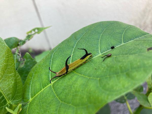 蝶か蛾の幼虫だと思うのですが、名前が分かりません。何の幼虫か名前を教えて下さい。