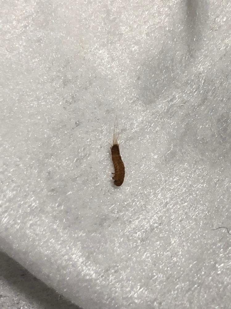 虫に詳しい方教えて下さい。 6〜7mm位の大きさなのですがこれは何という虫でしょうか? 何かにくっついてきたのか気づいたらうねうね部屋の中を歩いていて…