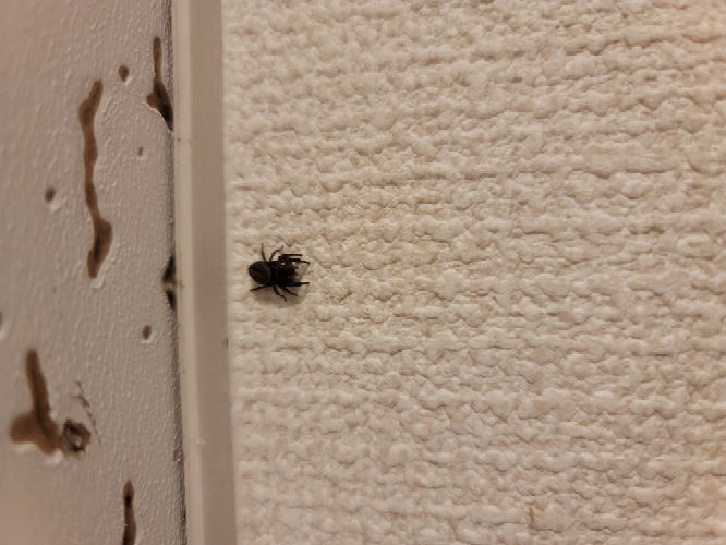 蜘蛛の種類について 浴室にアドソンハエトリに似た蜘蛛がいたのですが、色が地味に違いました。アドソンは黒に白い模様だと思うのですが、今回見た蜘蛛はグレーっぽい体に黒色の模様でした。 大きさや形、模様の入り方がアドソンそっくりでした 同じ種類の蜘蛛なのでしょうか?