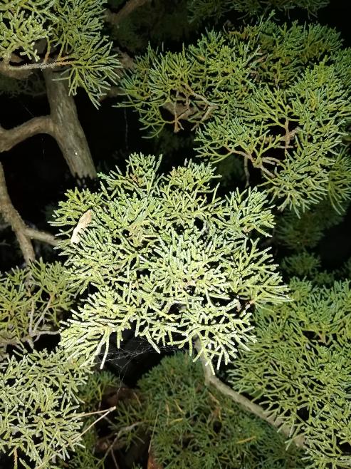 この盆栽の名称を教えてください