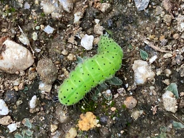 シロタエギクに付いていたこちらの青虫は何の青虫でしょうか?