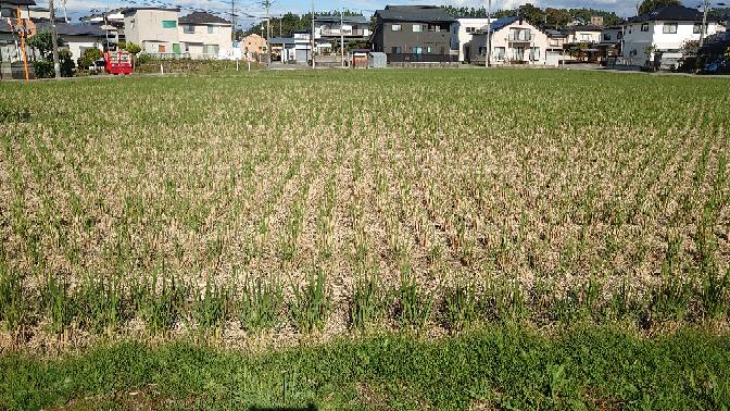 秋田ですが、稲刈り終わった後の田んぼごこうなっていましたが、何植えられているのでしょう?