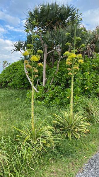 アガベ・ベネズエラの開花は100年に一度くらい珍しいと聞いたのですが、沖縄で何本も開花してました。実際はけっこう咲くものなのでしょうか?それともこれはベネズエラではないのでしょうか?