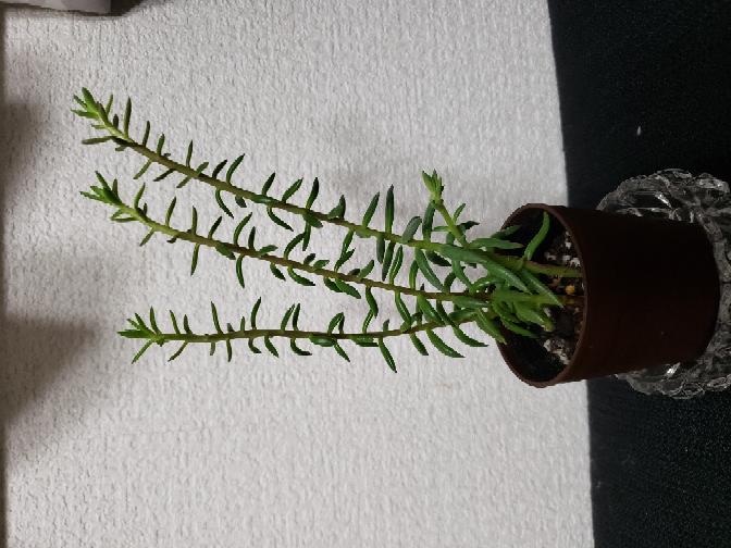 この多肉植物はなんていう名前ですか?