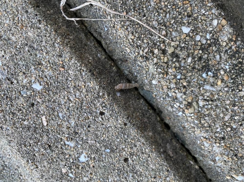 家の近くにあるコンクリートの壁に 渦巻状の卵?のようなものがよく張り付いています。これはなんなのでしょうか?