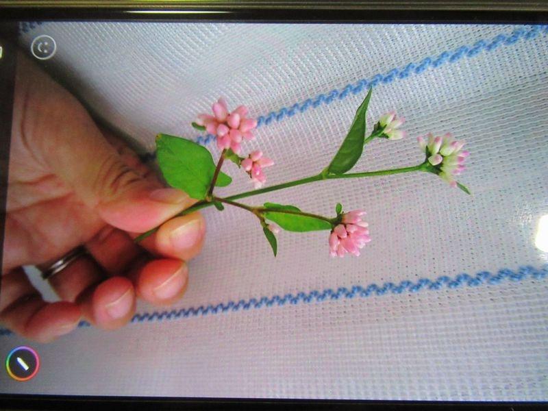 千葉県ですが、娘が田んぼ道で見かけた花なのですが、名前がわかりません。 ツメクサにもコンペイトウソウにも似ているのですが。