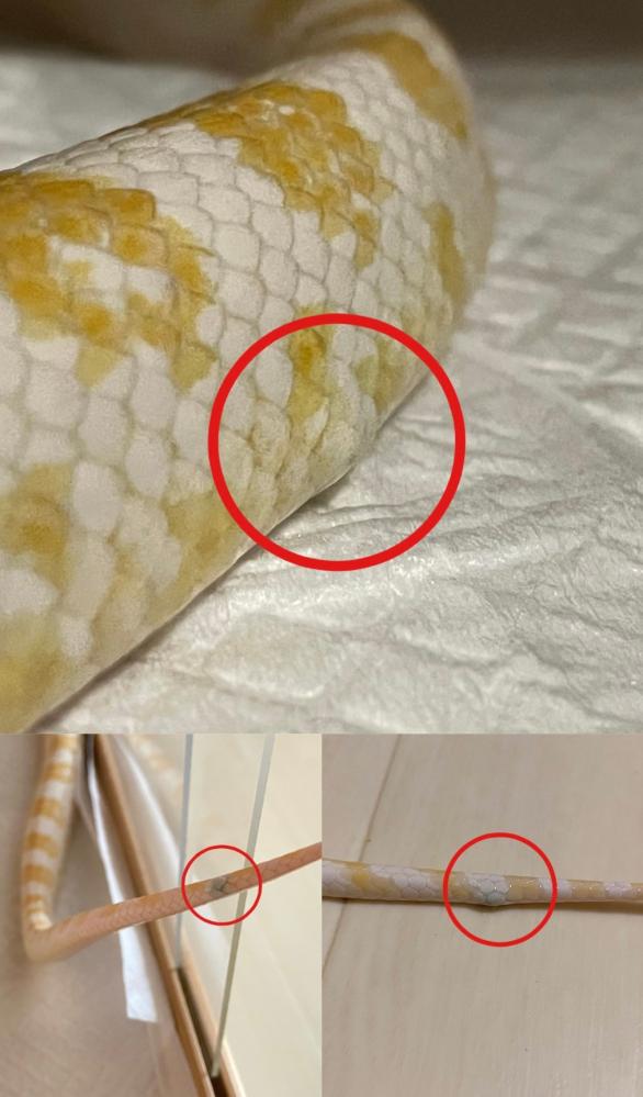 コーンスネーク スノーの身体2箇所に黒い膨らみが出来ていました。 ここ1、2ヶ月で出来たものだと思います。 脱皮不全はなく、挟んだりしたこともありません。 給餌も通常にできてます。 壊死ではないと思うのですが、何かの病気でしょうか? 爬虫類を見てくれる獣医さんが近くに居ないため、詳しい方ご回答お願い致します。
