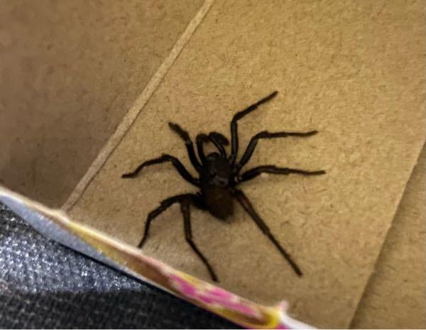 この蜘蛛の名前を教えてください。 箱の中にいました。 足まで入れると3cmくらいで焦茶色 よく見るイエグモのような動きとは違います。 基本的にじっとしていて、歩くと割と早いです。