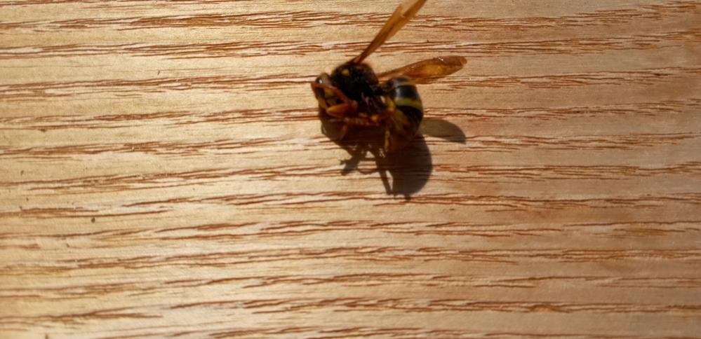大きなハチが家に巣を作っているのか柱の隙間に出入りしています ときどき部屋の中まで入ってくるので殺していますが、これに刺されたらどうなりますか?