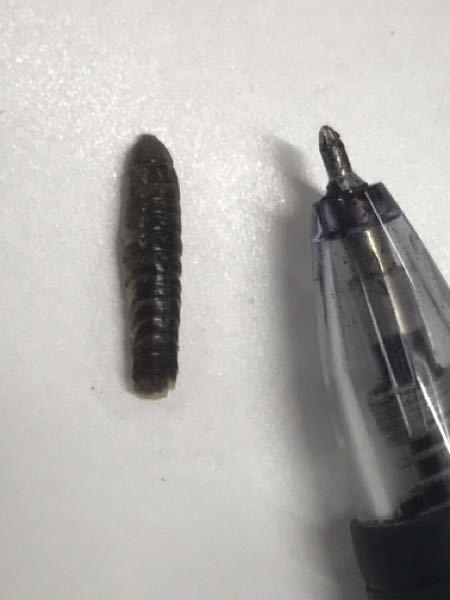 これは細長いダンゴムシですか?裏側はダンゴムシみたいに足がたくさんあります。