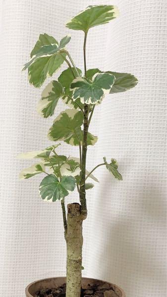 観葉植物に詳しい方! 画像の植物の名前分かりますか? ポトスかなと思ったのですが、幹がこんなにしっかりしてるタイプってあるのでしょうか?