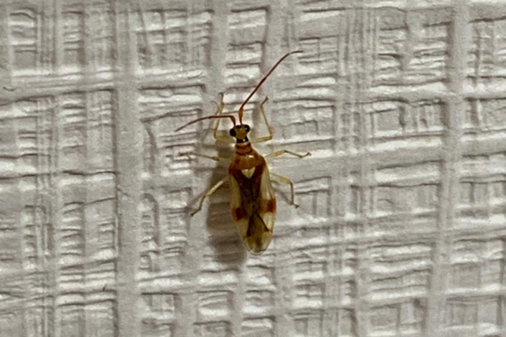 数日前に自宅の壁にいました。 この虫なんですか? 蚊ぐらいのサイズでした、、、