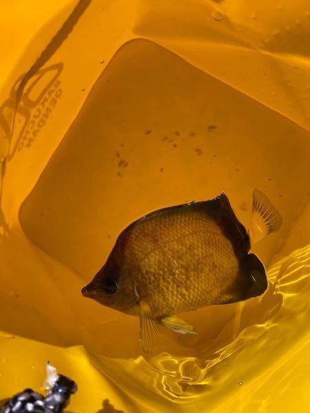 釣り初心者です。 熱海周辺で釣っていたら釣れましたがなんという魚ですか? 魚に詳しい方よろしくお願いします