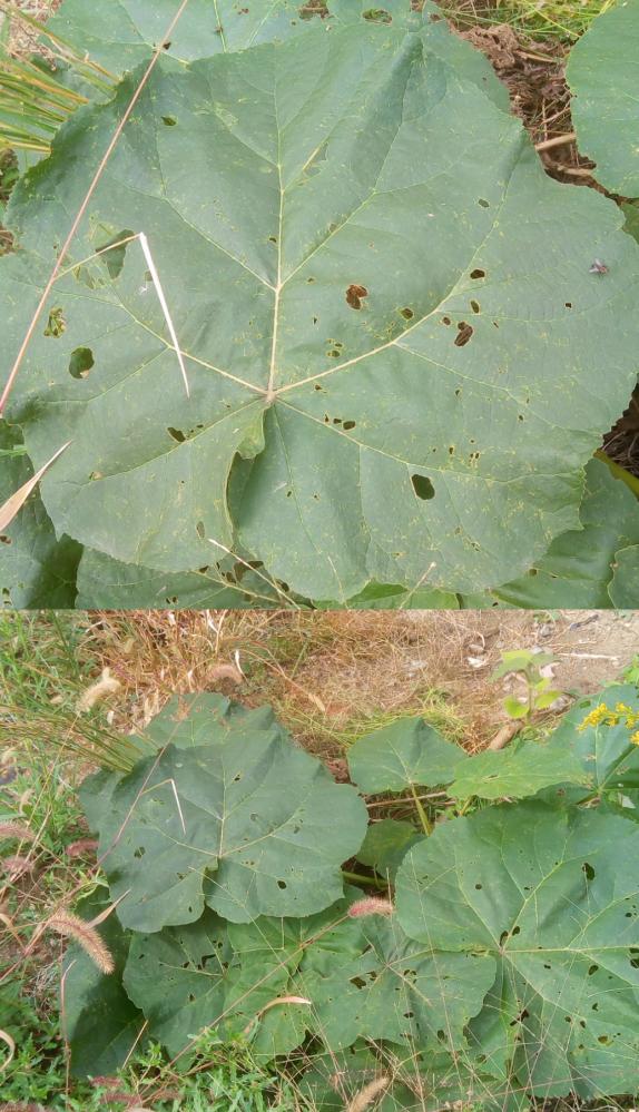 この野菜のような大きな葉を持つ植物の名前を教えて下さい。葉の大きさは50cm位で空き地に生えてました。見覚えが有るような気がしますが思いだせません。 茎が灰色っぽくなっていたのでカボチャとは違う気がします。