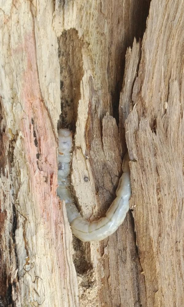 質問です。この幼虫の名前を教えてください。薪にするする木の中にいました。