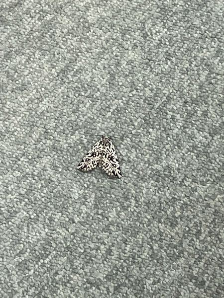 白黒の不気味な蛾なのですがこの虫の名前を教えてもらいたいです。 飛ぶのが下手な印象があります。