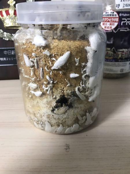 オオクワガタの幼虫を菌糸瓶に入れて、5ヶ月あまり、 菌糸瓶にキノコが生えてきてしまいました。 幼虫は死んでしまってるのでしょうか、 あと、横に穴が空いてます。
