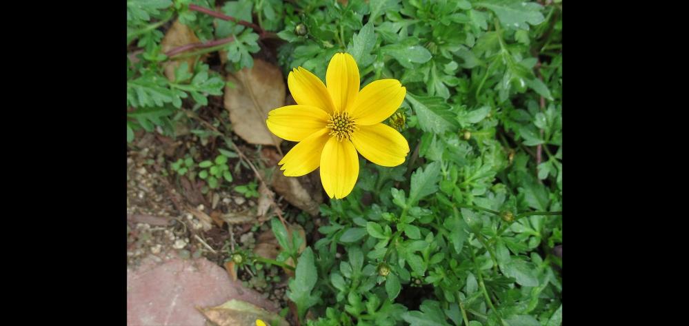 この花の名前を教えてください。 この花の背丈も 凄く低いです。
