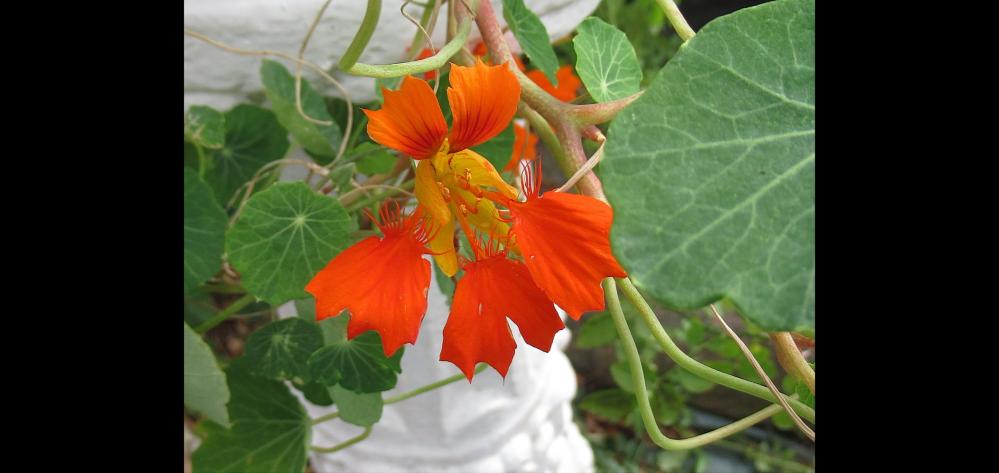 この花は 金蓮花であってますか?