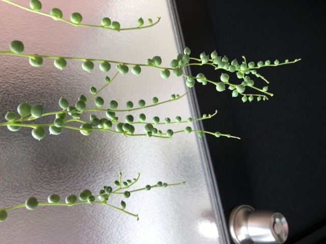 グリーンネックレスの先がいくつも枝分かれしています。 急に枝分かれする茎が増えてしまった原因は水やりでしょうか? また剪定の仕方がありましたら教えてください。