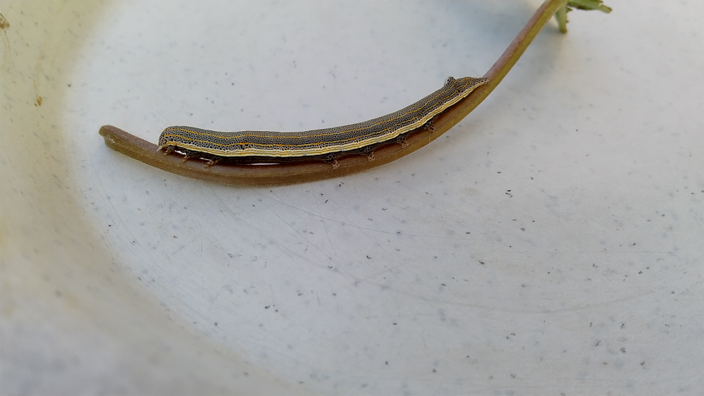 朝顔の葉を食べていたこの幼虫、ガーデニングでよく聞くヨトウムシと呼ばれているものでしょうか? また、これよりかなり小さくて黒茶色をした細長い尺取り虫みたいなのもよく朝顔のネットと同化している姿を見かけるのですが、この幼虫のもっと幼い形態なのでしょうか?それとも別の虫でしょうか?