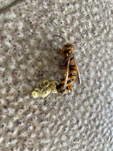 ハチの腹から寄生虫らしきものが出ていたのですが、これなんですか?