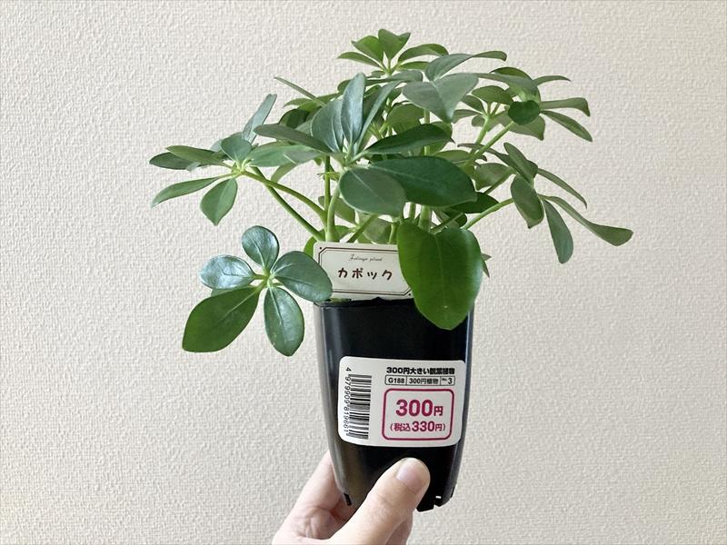 小さなカポックをかってきました! 小さな容器から、もう少し大きな鉢に植え替えたいと思うので教えてください! 土はどんな物が良いですか? 以前、色々な植物を育ててましたが、水やりする度に土が粘土状...