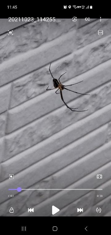 この蜘蛛の種類を教えてください。 ※オオジョロウグモではありません。5〜6cmくらいです。中部地方。