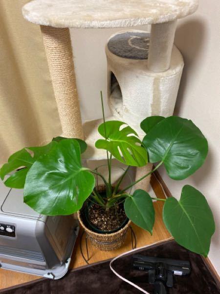 モンステラって乾き気味の方が葉姿がステキに見えるのですが気のせいですかね? 少し寒くなってきましたのでこの状態は4日水遣りしていないものです。 乾かし過ぎてかわいそうでしょうか。