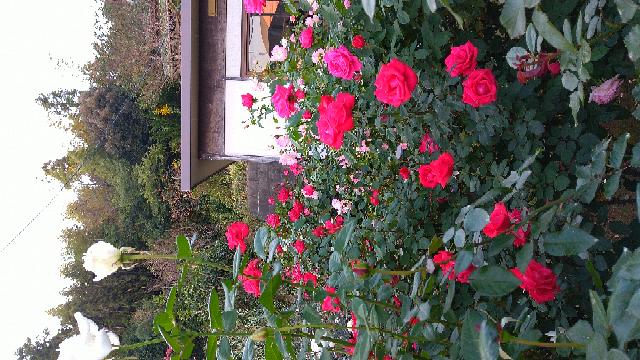 バラを育てている人は 春のバラと秋のバラどちらが好きですか??私は秋のバラが 花持ちよくて、どことなく趣があって好きです 私の今日の庭です