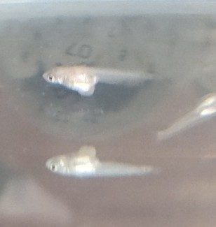 メダカの稚魚(1cm程)のお腹が膨らんで元気がありません。 写真でとって拡大してみたら、お腹が破裂してるような感じも。 これは、病気でしょうか? それとも、他のメダカの稚魚に、いじめられて怪我をしてしまってのでしょうか? 【追伸】 下に写っているメダカは、ガラスに反射したメダカです。 お腹がよく見えると思います。