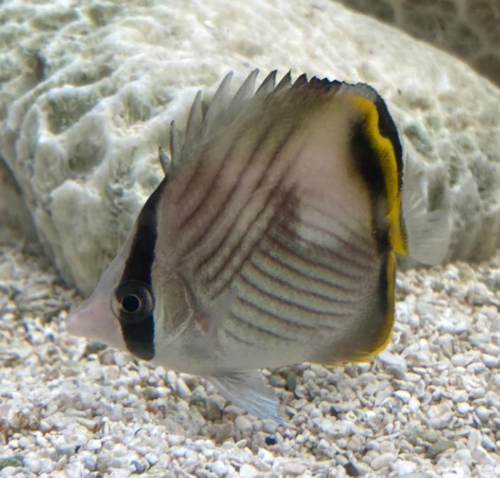 この魚の名前を教えて下さい。 フウライチョウチョウウオでしょうか?? 似ているチョウチョウウオもありわかりません。